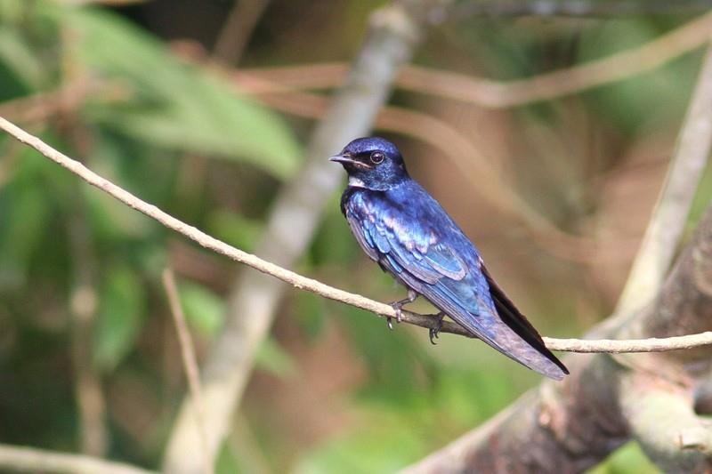 Jaskółka modra