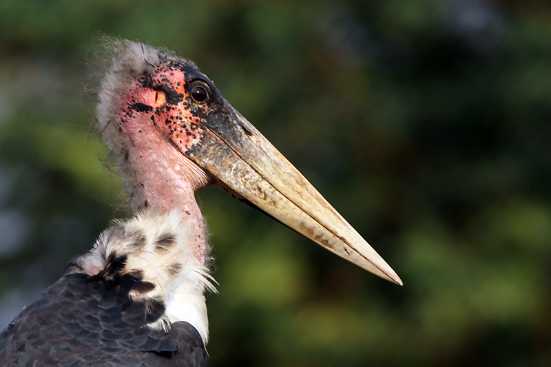 Marabut afrykański