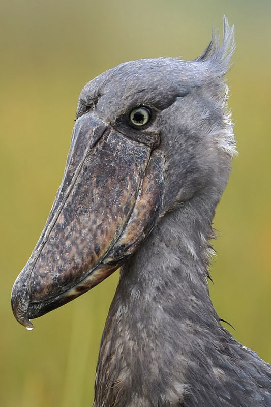 Shoebill (Balaeniceps rex) photographed on Mabamba Wetlands
